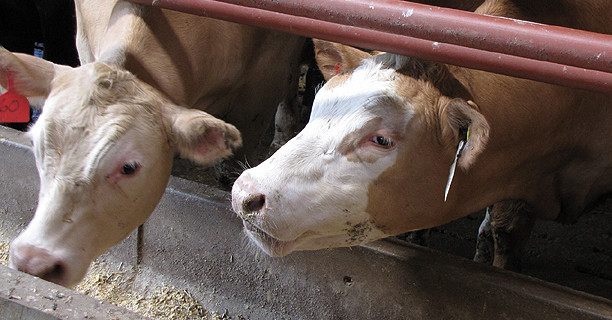 Surprising Results About Grain-Fed Beef - Ontario Cattle Feeders